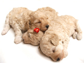 Image of sleeping puppies